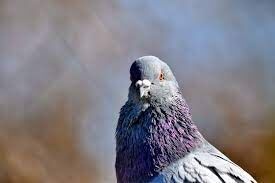BSF demands legal action against pigeon from Pakistan