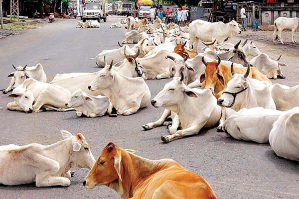 Stray cows may eat away BJP votes in rural India