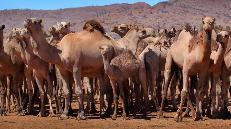 Australia cull thousands of wild camels