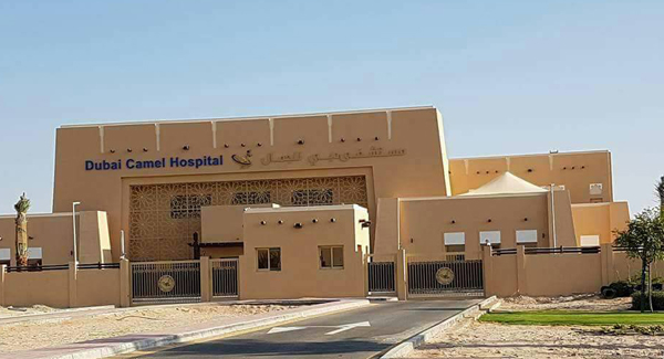 Worlds first camel hospital in Dubai to get bigger