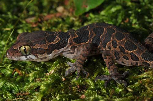 Lizard species rediscovered after 135 years