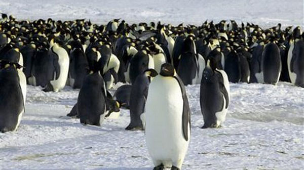 Penguins have lost three basic tastes forever: Study