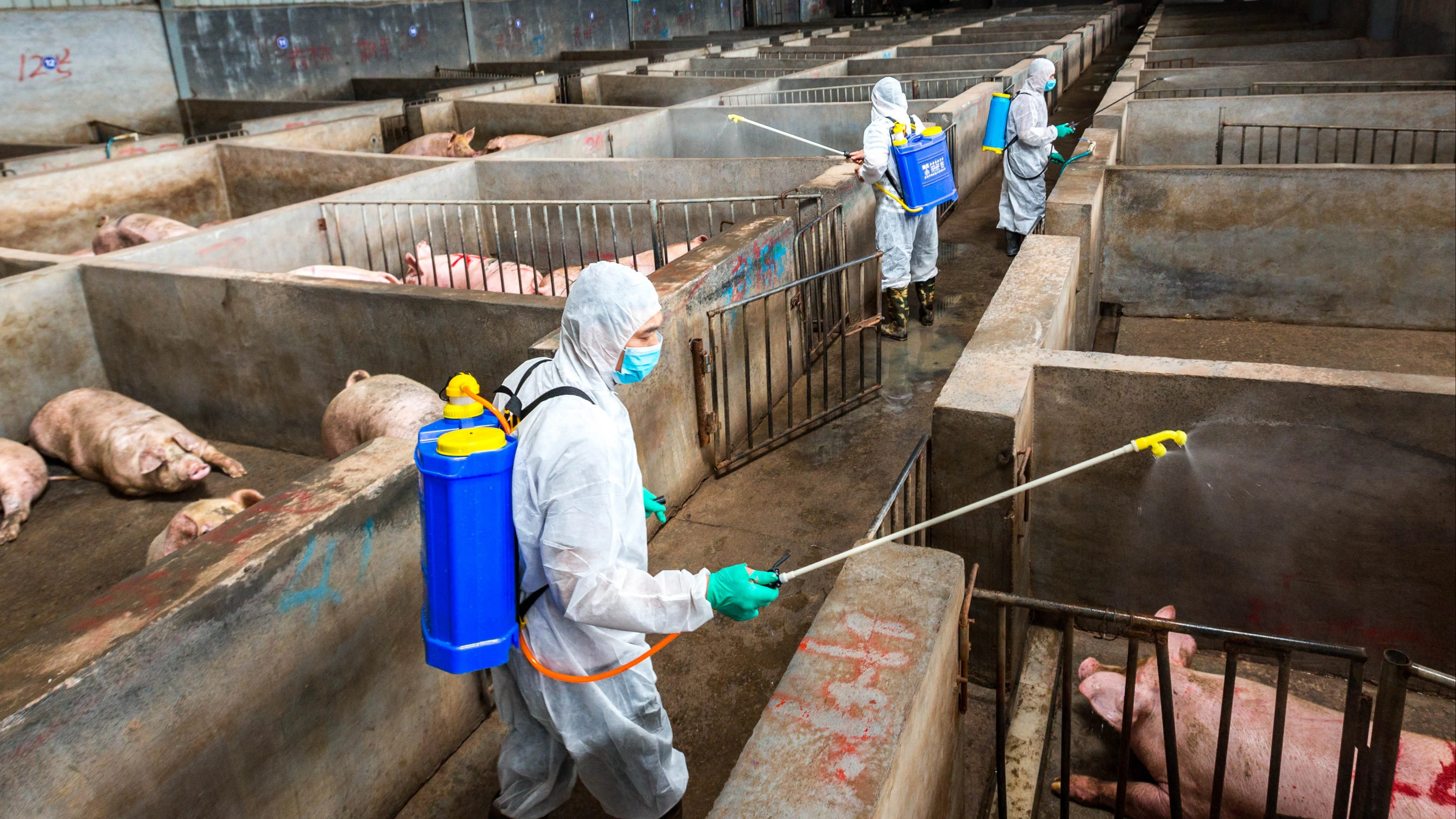China pork prices soar as herds hit by fever, farm closures