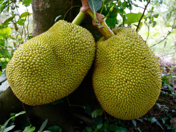 How jackfruit was resurrected from its lowly image in Kerala
