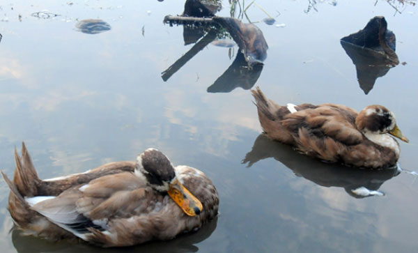 Bird flu: 1.5 lakh birds to be culled