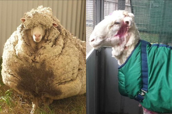 Over 40 kg wool from one sheep in Australia