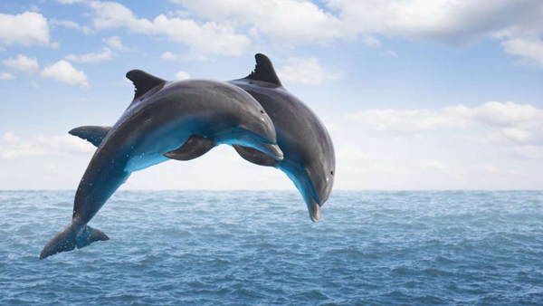 Dolphins name friends to recognise them: study