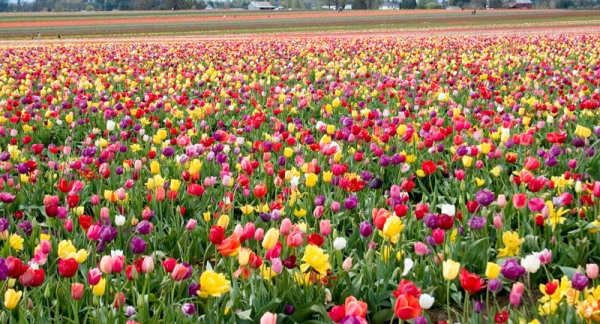 Farmers destroy millions of flowers for lack of demand