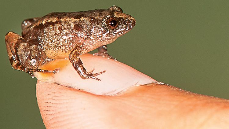 DU scientists discover new night frogs in Western Ghats