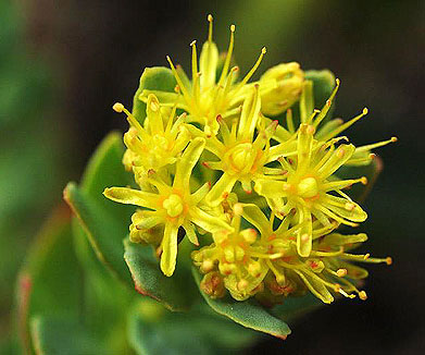 Indian scientists find a wonder herb in the high Himalayas