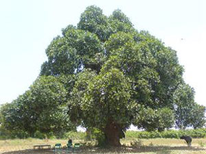 Heritage trees to get health-card in State