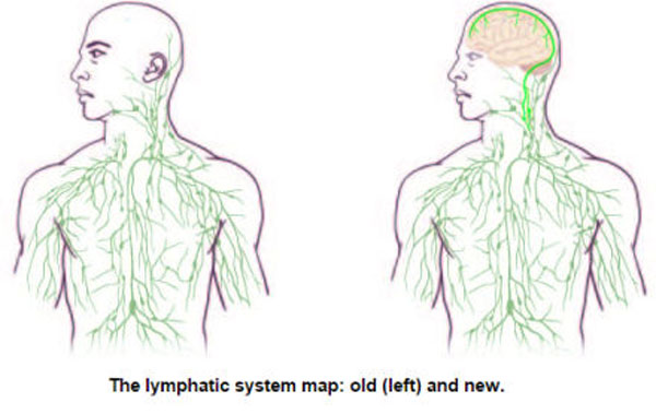 Missing link between brain and immune system found