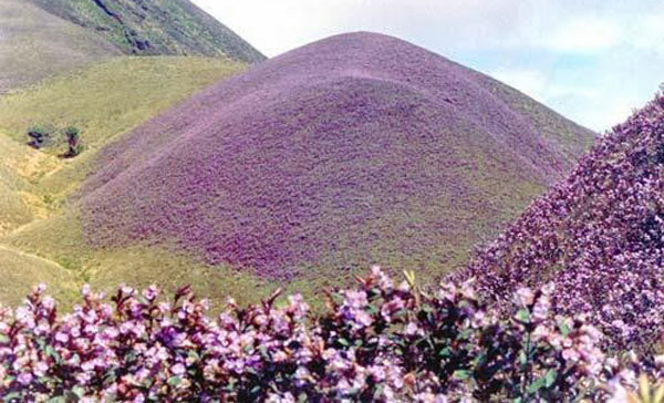 Once-in-12-years Neelakurinji in full bloom at Munnar