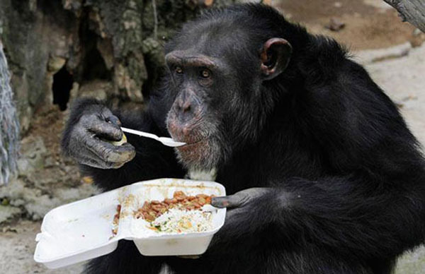 Chimps get herbal tonic to fight winter chill