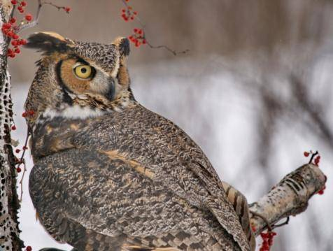 How owls rotate their heads without cutting off blood supply!