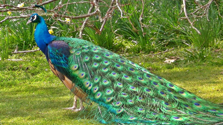 Scientists unveil genome of Indias national bird