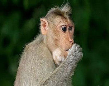 Monkey fever toll rises to 10