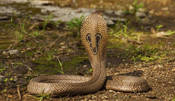 Kerala plans licence for snake catchers