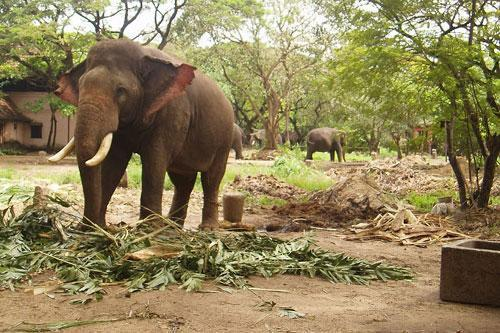 Plea in SC seeks ban on use of elephants at functions