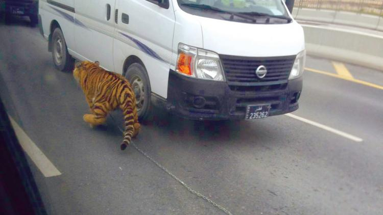 Watch: Tiger on the loose in Doha traffic jam