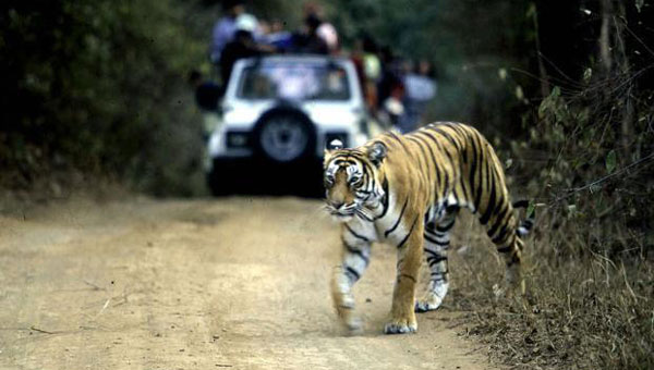 Indias tiger population rises by over 30% since 2010