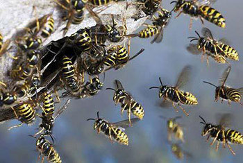 Wasps attack claims one life in Kerala