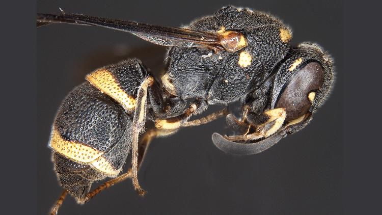 New species of wasp spotted in Western Ghats