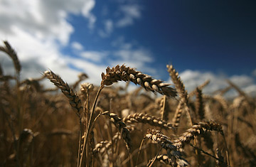 Climate change to reduce crop yields sooner than believed
